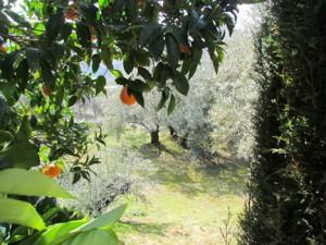 Typisch Spanje: sinasappel- en olijfbomen